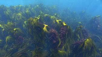 Grimsey - at the Polar Circle - kelp....